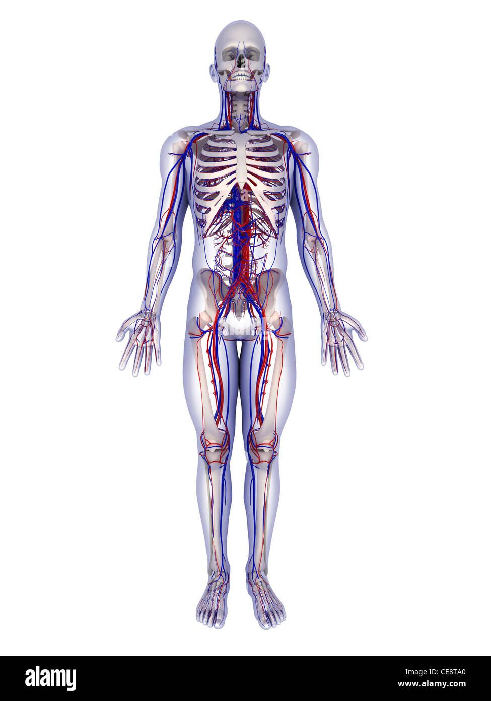 Anatomie des Menschen. Computer Grafik zeigt die Knochen und ...