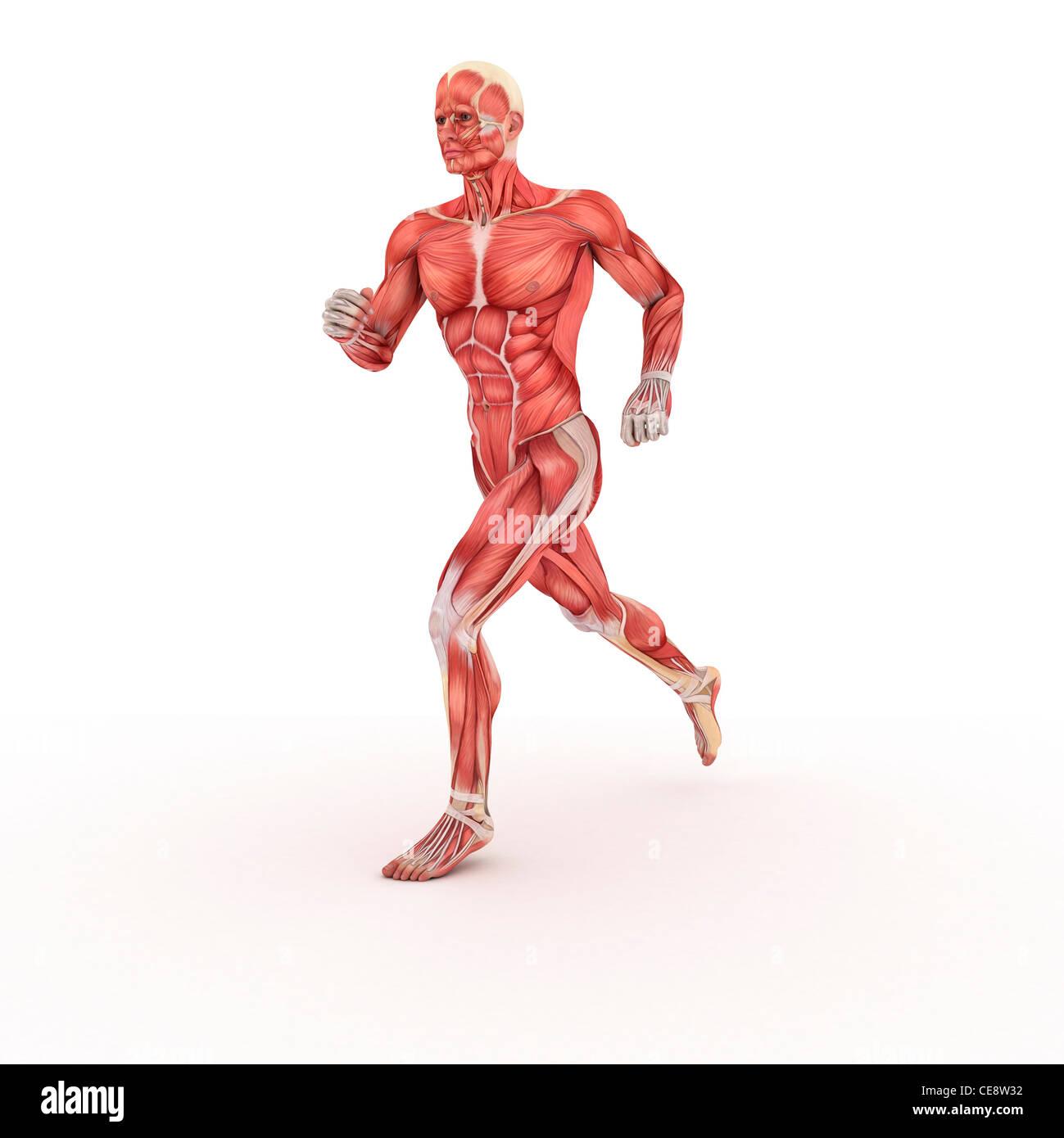 Body Muscle Anatomy Athlete Stockfotos & Body Muscle Anatomy Athlete ...
