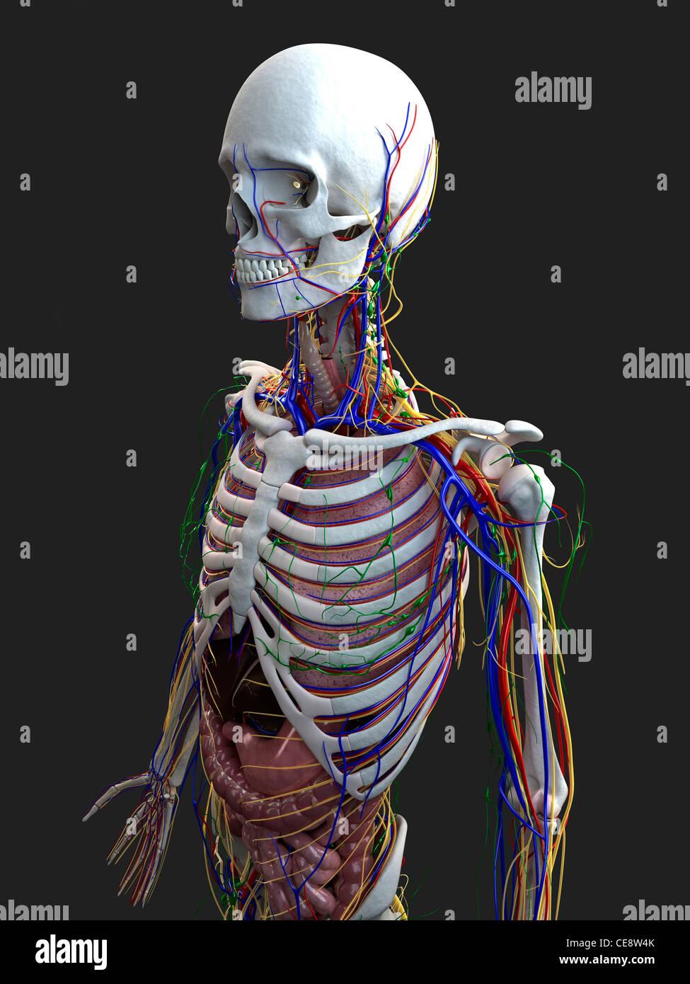 Tolle Untere Extremität Anatomie Notizen Fotos - Menschliche ...