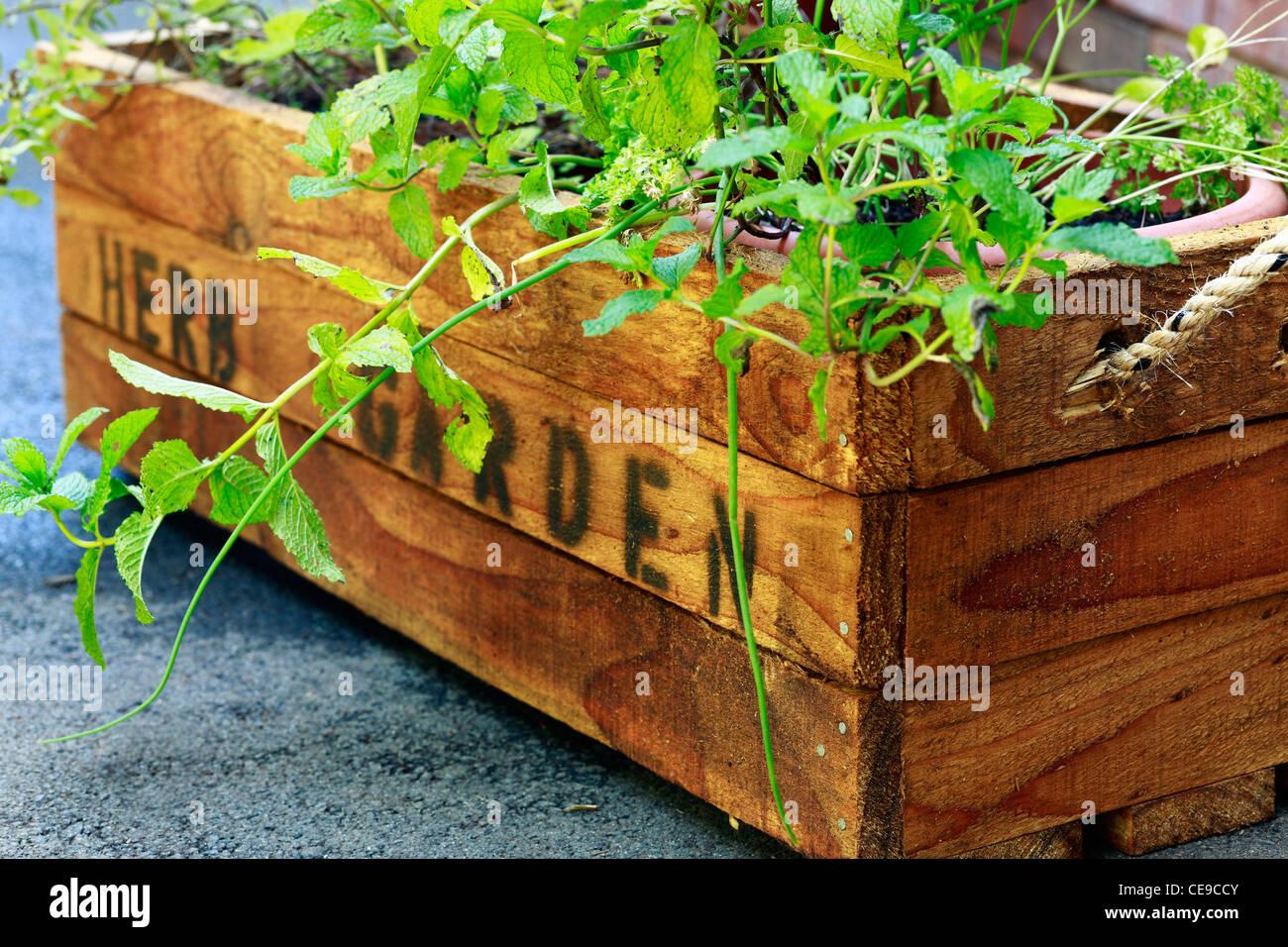 Kräutergarten. Rustikale Holzkiste für Topfpflanzen Kräuter. Stockbild