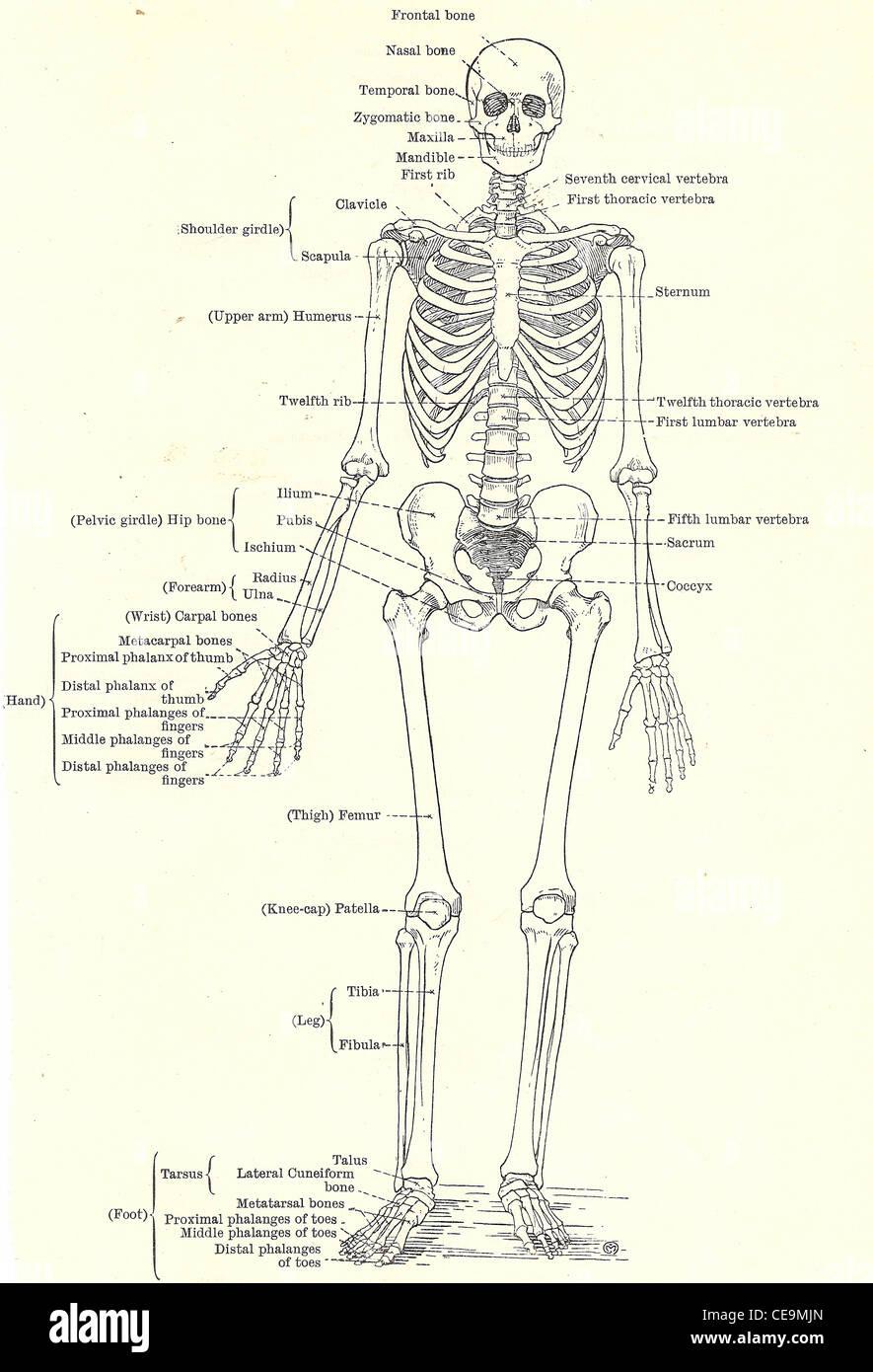 Menschliches Skelett, volle frontale Ansicht aus einer Anfang des 20 ...