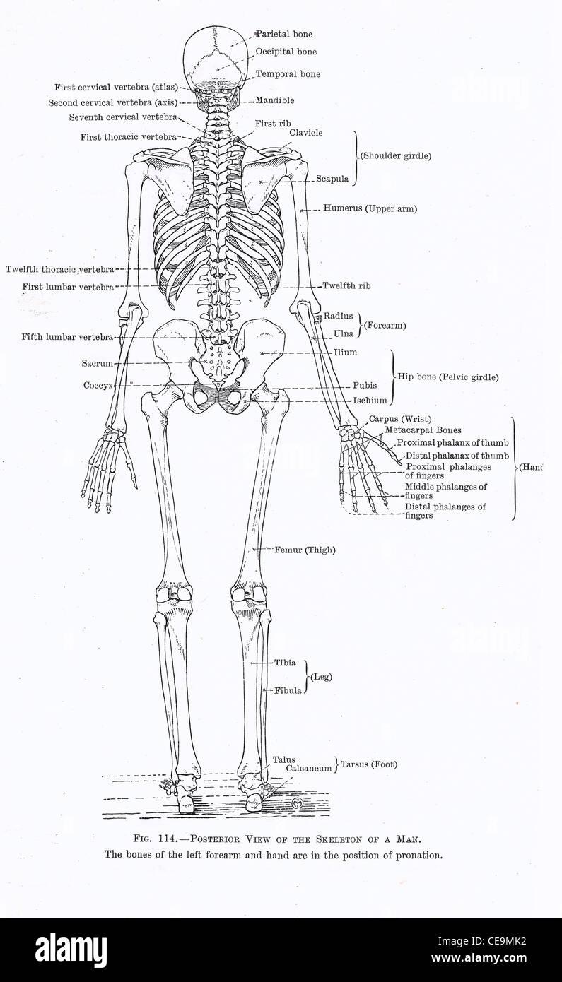 Menschliches Skelett, voll Rückansicht aus einer Anfang des 20 ...