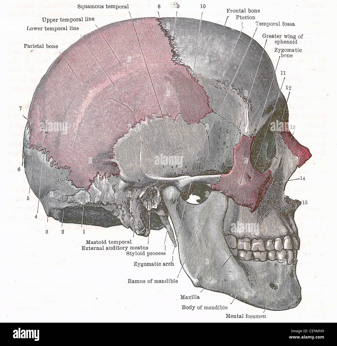 Dissektion des menschlichen Kopfes - Seite des Schädels; aus einer ...
