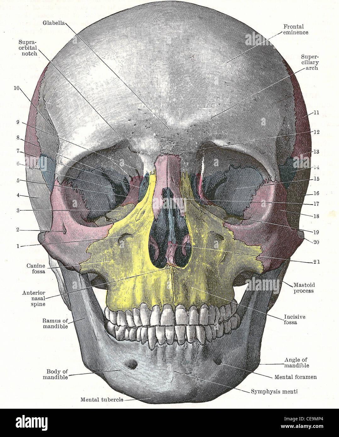 Dissektion des menschlichen Kopfes - Front des Schädels; aus einer ...