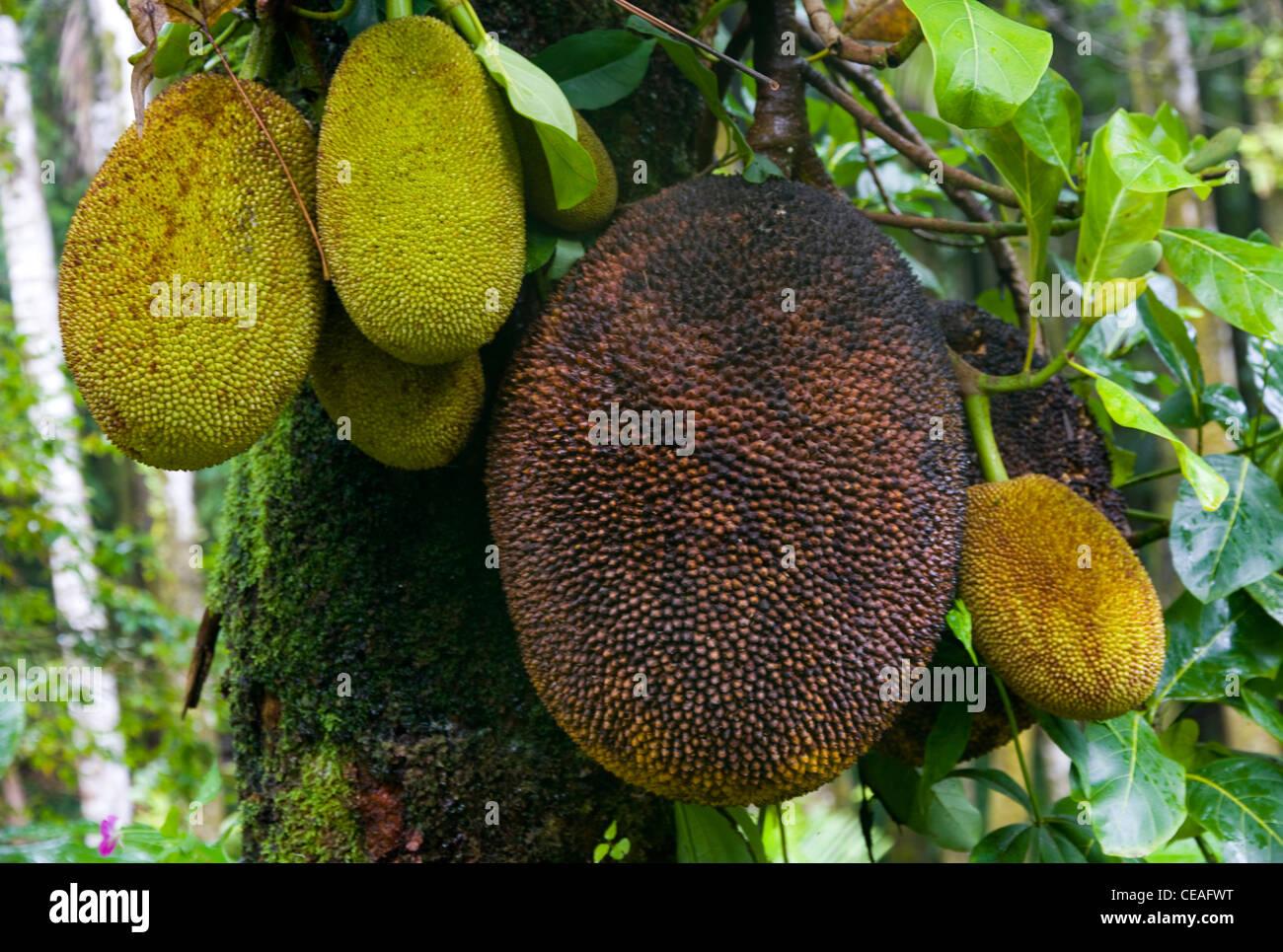 Brotfruchtbaum (Atocarpus Altills), Hawaii Tropical Botanical Garden, nördlich von Hilo, Big Island, Hawaii Stockbild