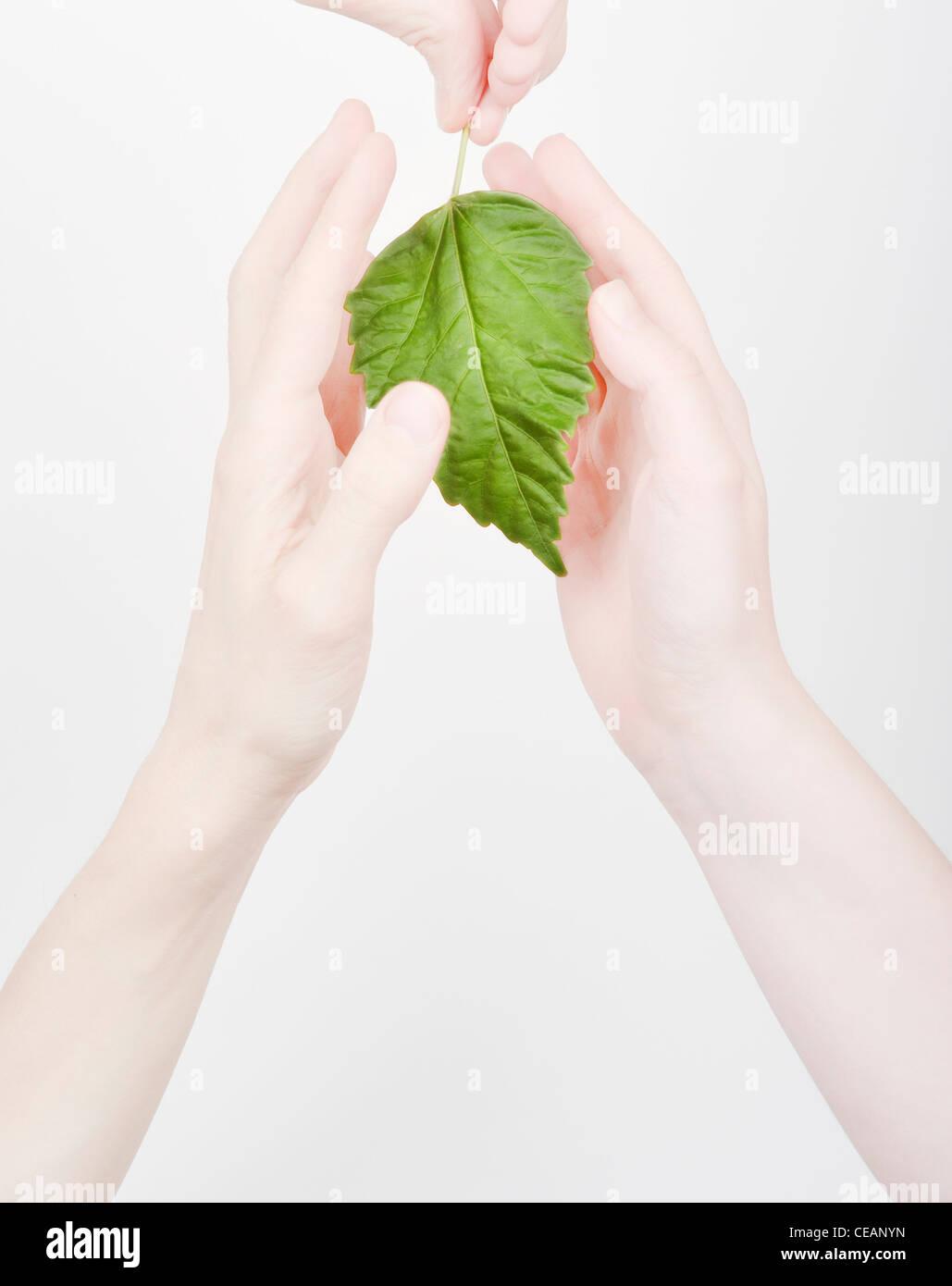 Hände, die Abschirmung eines grünen Blattes Stockbild