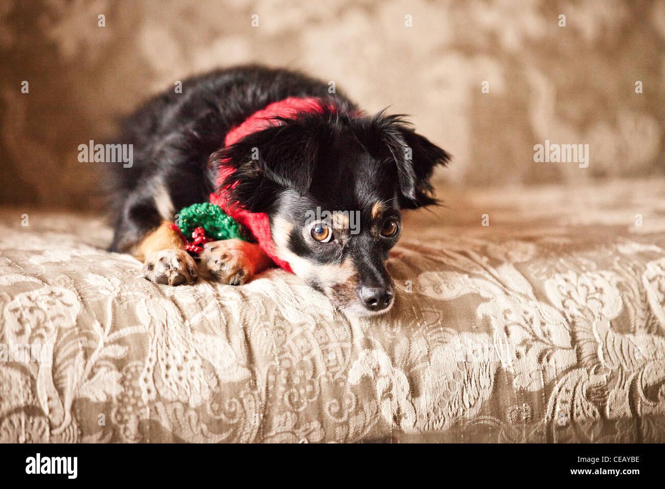 Porträt des Hundes trägt Schal Stockbild