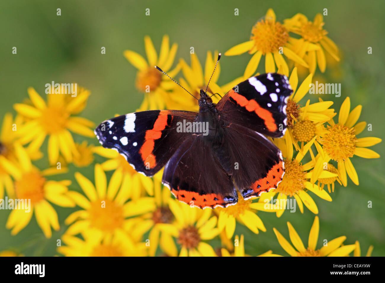 Red Admiral (Vanessa Cardui) Schmetterling auf gemeinsame Kreuzkraut (Senecio Jacobaea) Wilde Blume Stockfoto