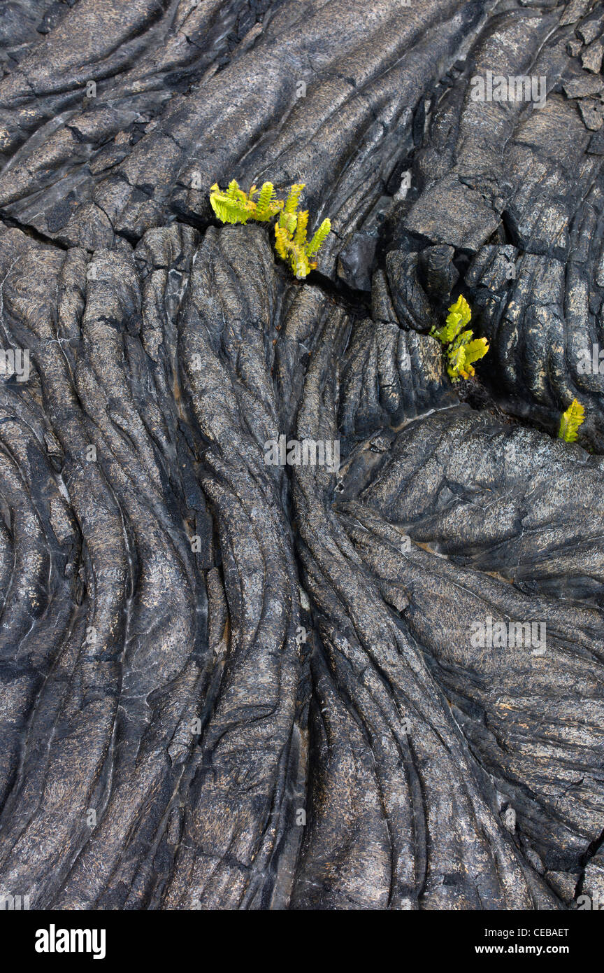 Pahoehoe Lava und Farne Hawaii Volcanoes National Park, The Big Island. Stockbild