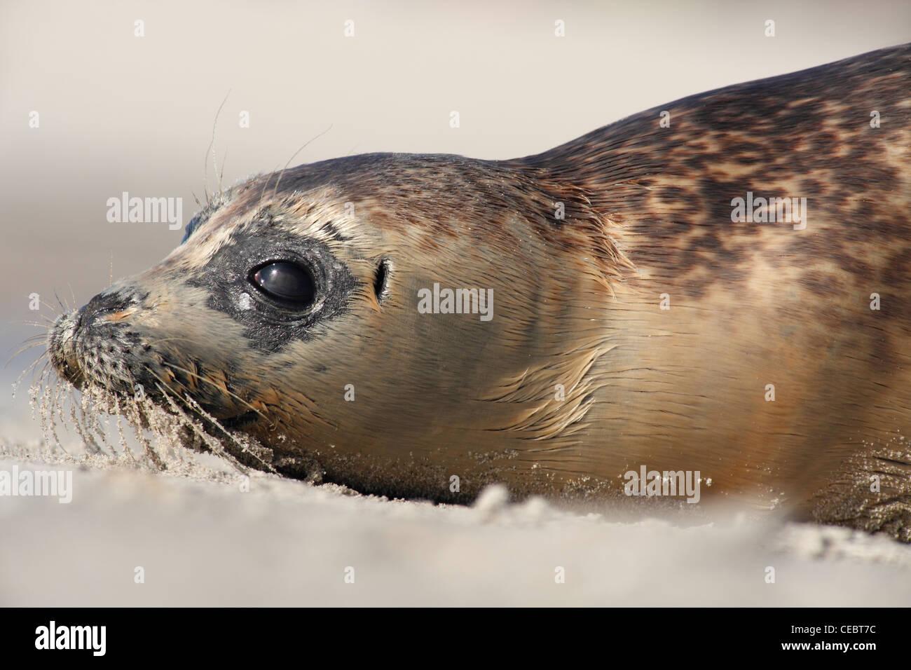 Juvenile Seehunde; Latein: Phoca Vitulina; Hafen Dichtung, Dichtung Hafen;  Junger Seehund Stockbild