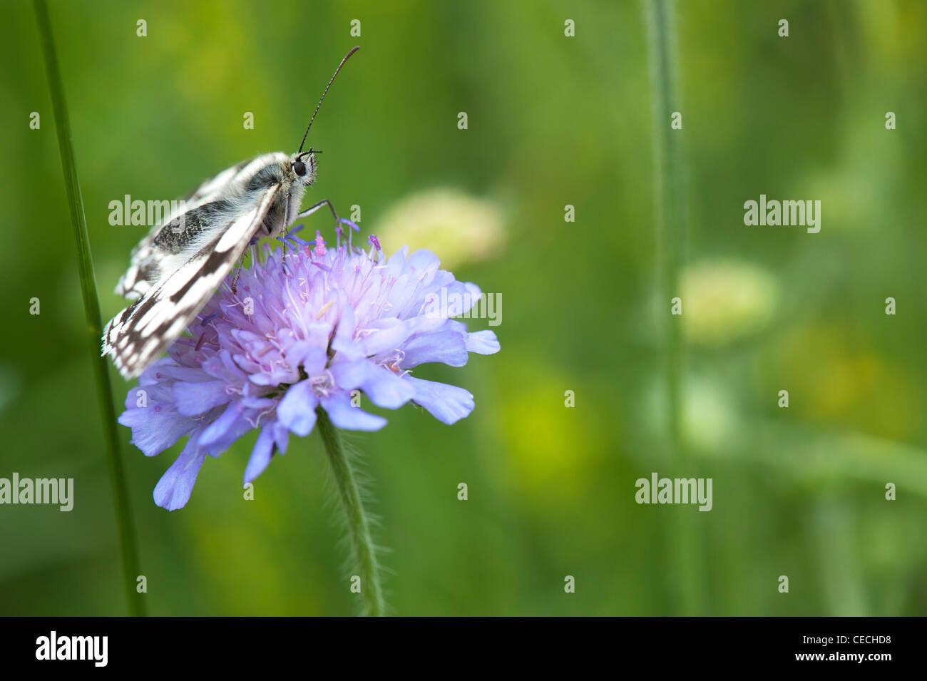 Melanargia galathea. Marmor weiß Schmetterling auf Feld-witwenblume Blume in der englischen Landschaft Stockbild