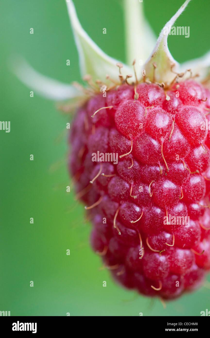 Rubis Idaeus. Himbeer Frucht auf den Busch Stockbild