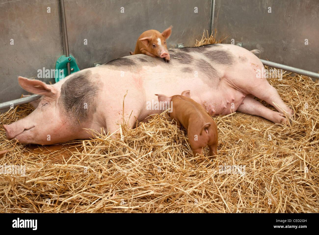 Säen Sie mit Ferkel - Weibliches Hausschwein Mit Ferkeln Im Stall Stockbild