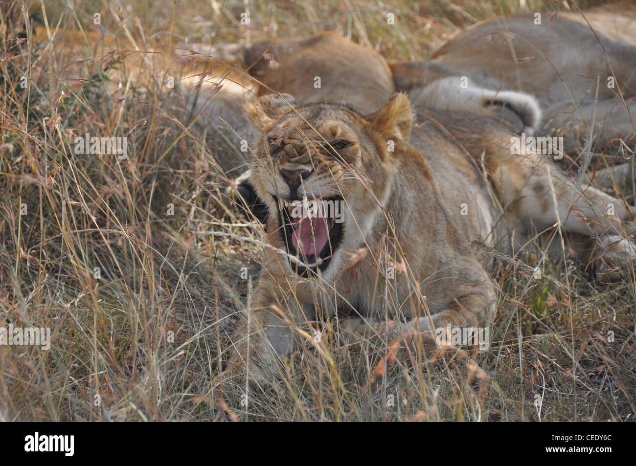 Brüllende Löwin Stockfoto