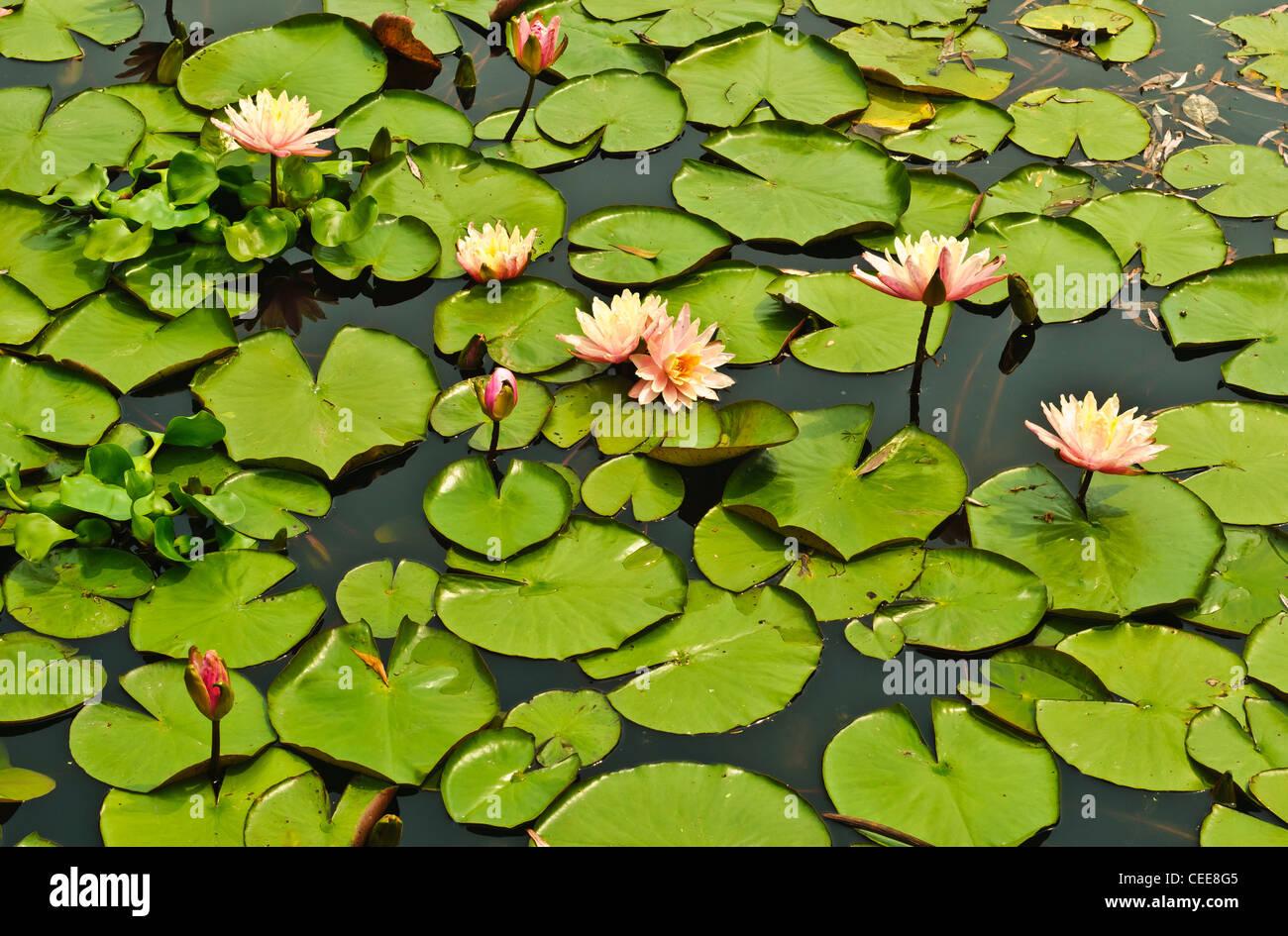 Blühende Wasser Lilien mit Seerosen in einem Teich in Oakville, Ontario Stockbild