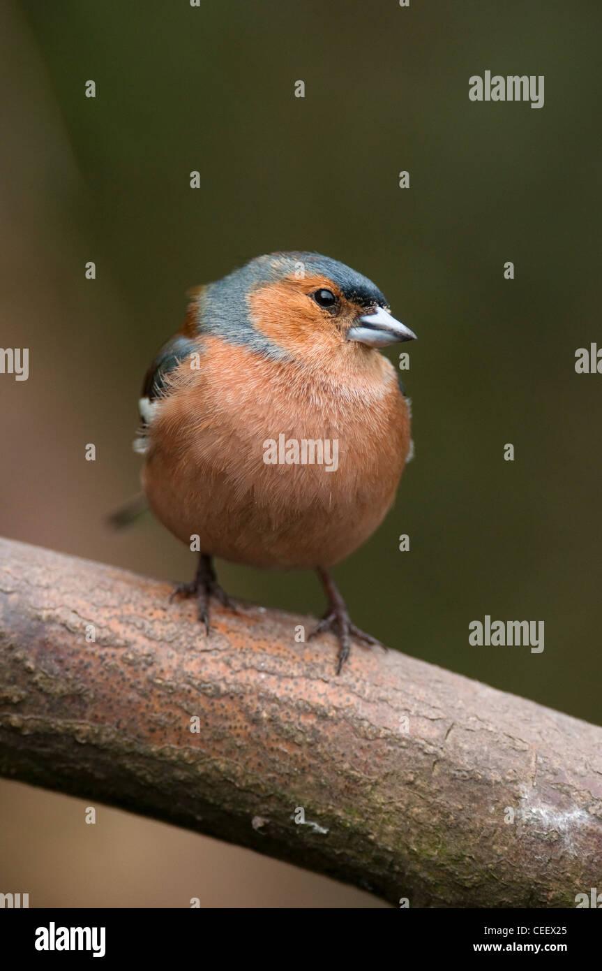 Buchfink Fringilla Coalebs Woodland Vogel zahlreiche Gemeinschaftsgarten Vogel Vogel Kleintiere Probe Organismus Stockbild