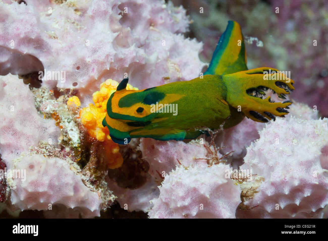 Seeschnecke, Tambja Olivaria, Baa-Atoll, Indischer Ozean, Malediven Stockbild