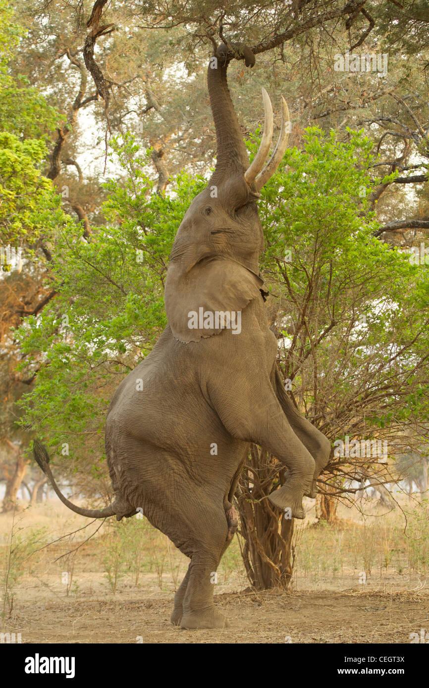 Ausgezeichnet Elefant Anatomie Bilder Ideen - Menschliche Anatomie ...