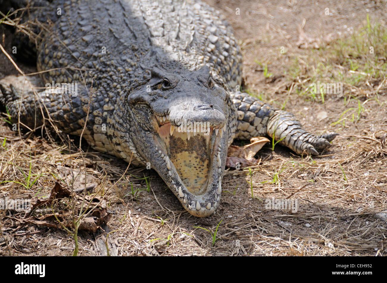 Kubanische Krokodil mit offenem Mund, Kuba, Caribbean Stockbild