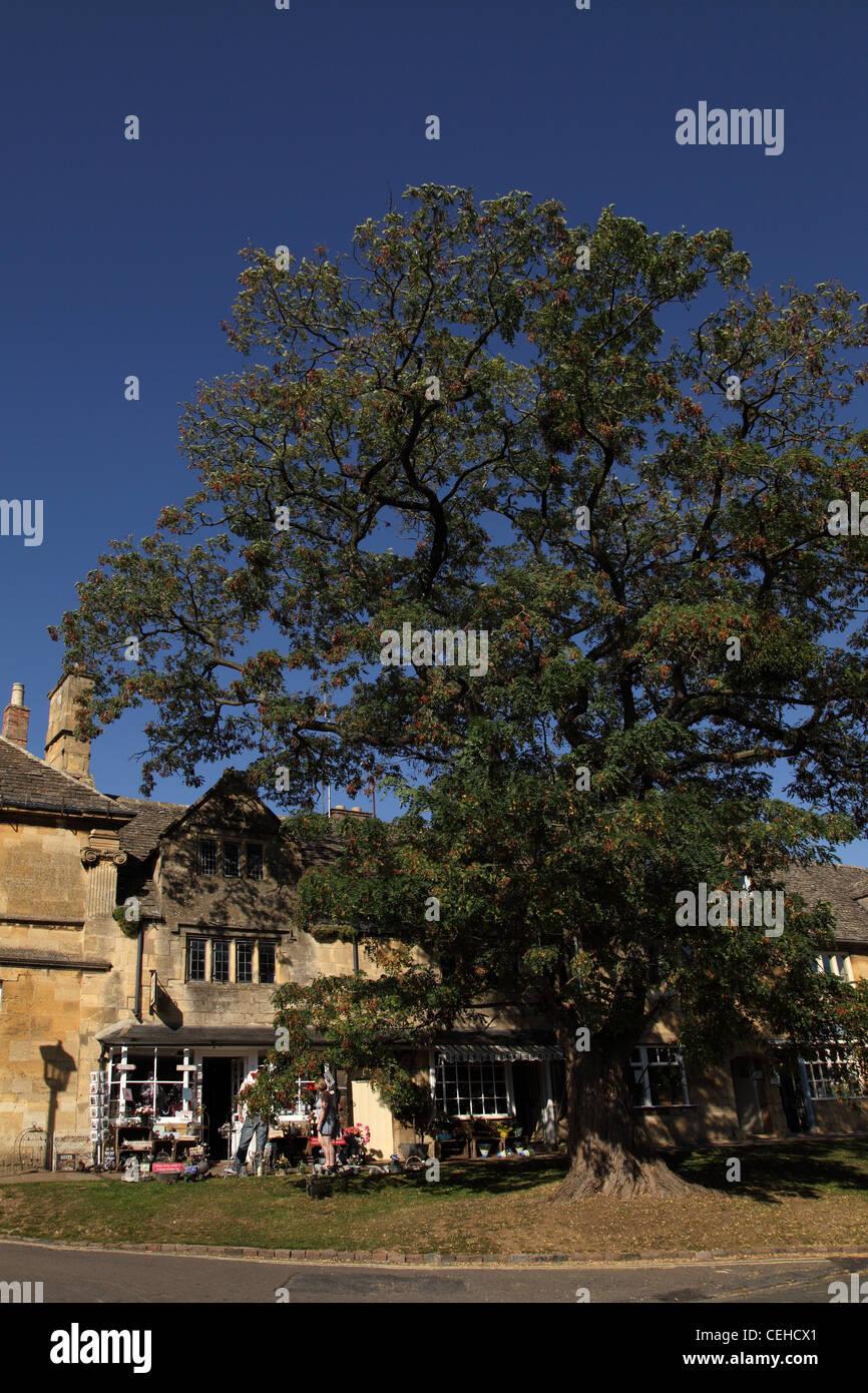Eine hohe Esche in Chipping Campden High Street, Gloucestershire, eines der schönsten Dörfer in den Cotswolds Stockbild