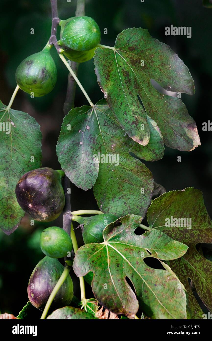 Zweig mit Feigen der gemeinsame Feigenbaum (Ficus Carica), Europa Stockbild