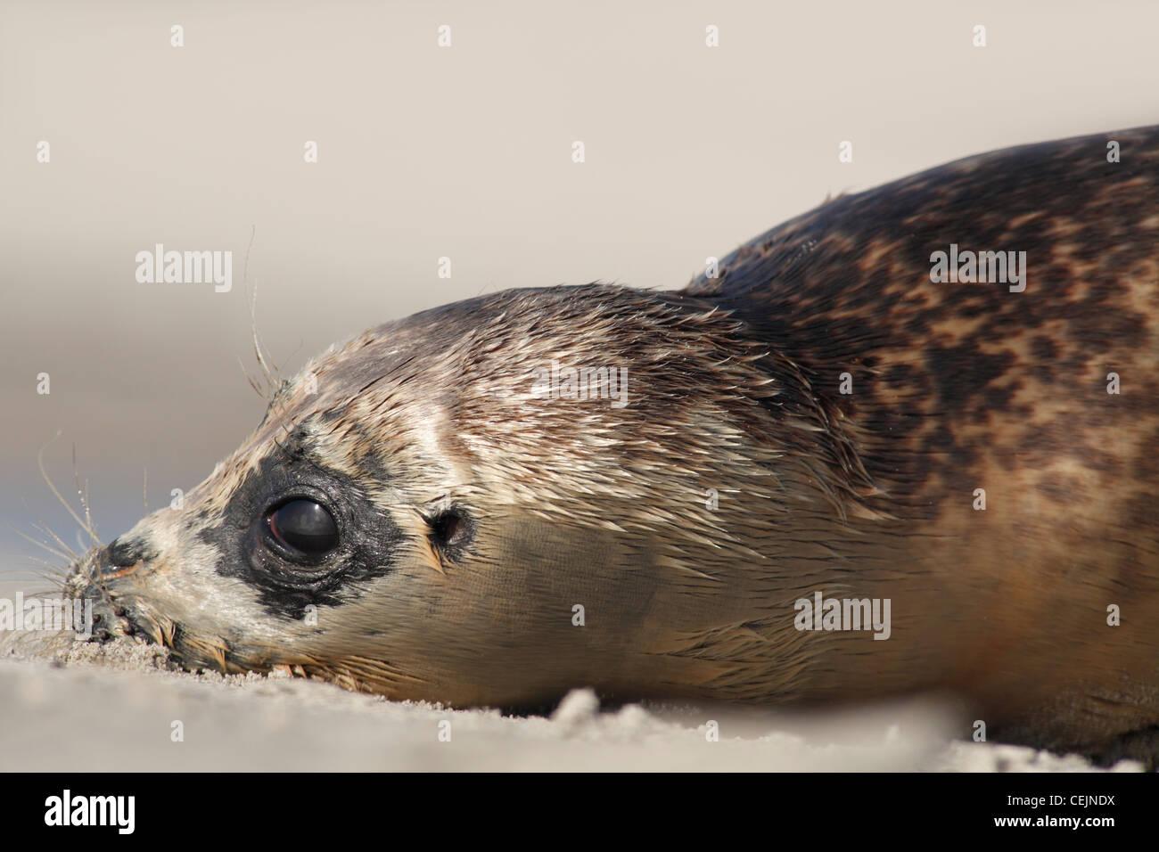 Seehunde; Latein: Phoca Vitulina; Hafen Dichtung, juvenile Hafen Dichtung;  Junger Seehund Stockbild