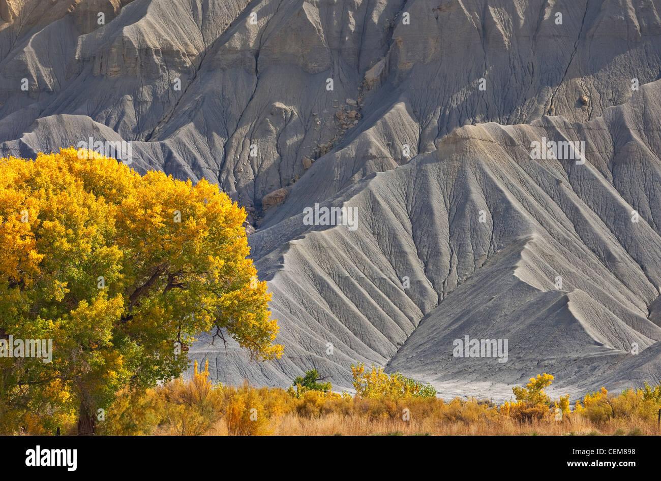 Goldene Pappel Baum und grau Klippen von Mancos Schiefer im Süden Caineville Mesa entlang Highway 24 westlich von Hanksville, Utah, USA Stockfoto