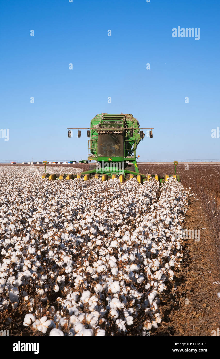 Landwirtschaft - eine 8-reihige John Deere Baumwolle Stripperin erntet ein Feld Reife hochverzinsliche Stripperin Stockbild