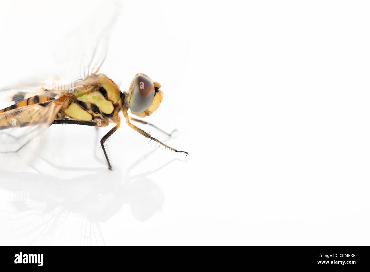 Tramea Basilaris. Rot Marsh Trotter Libelle auf weißem Hintergrund Stockbild