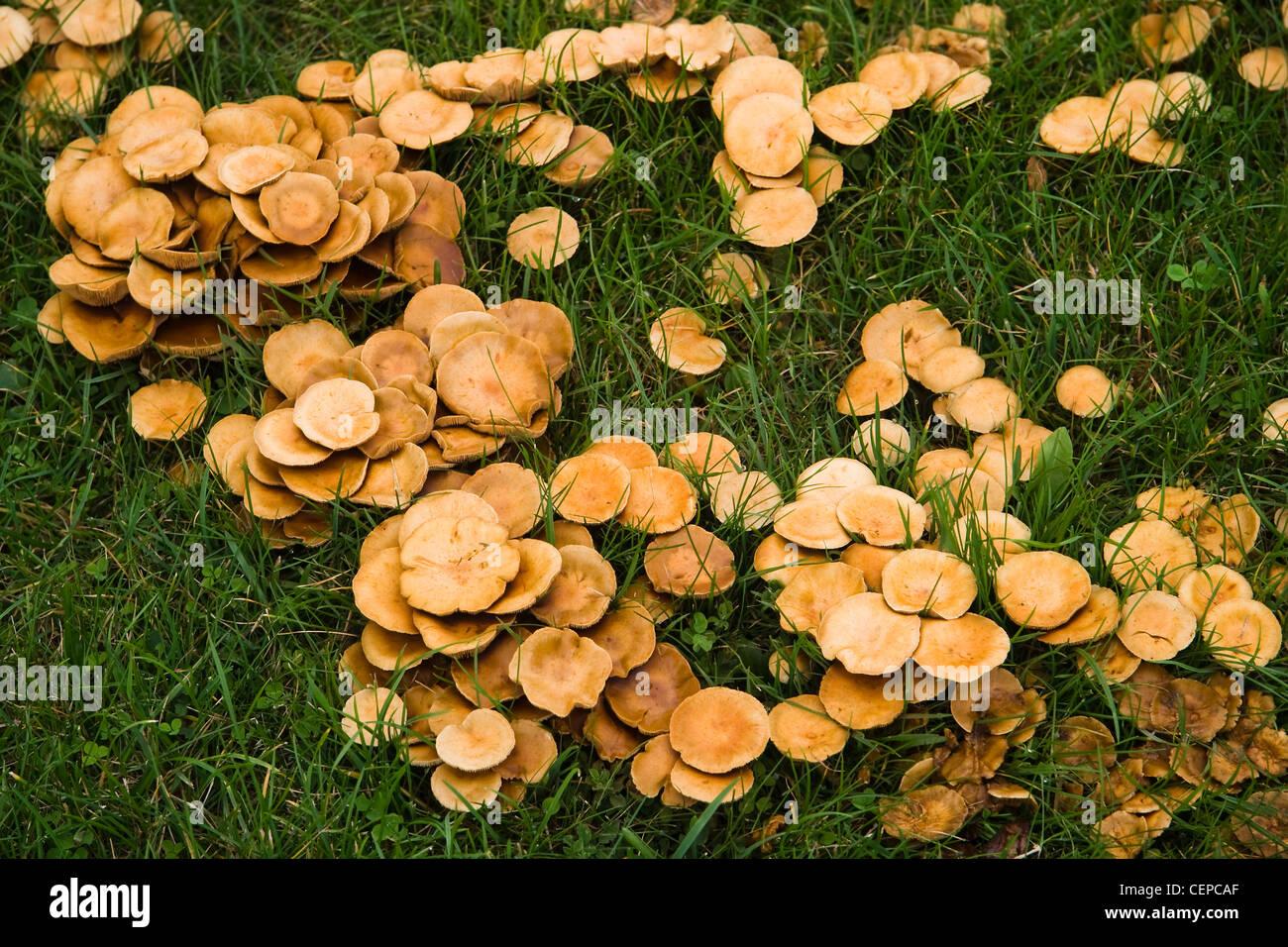 fairy ring mushroom stockfotos fairy ring mushroom bilder alamy. Black Bedroom Furniture Sets. Home Design Ideas