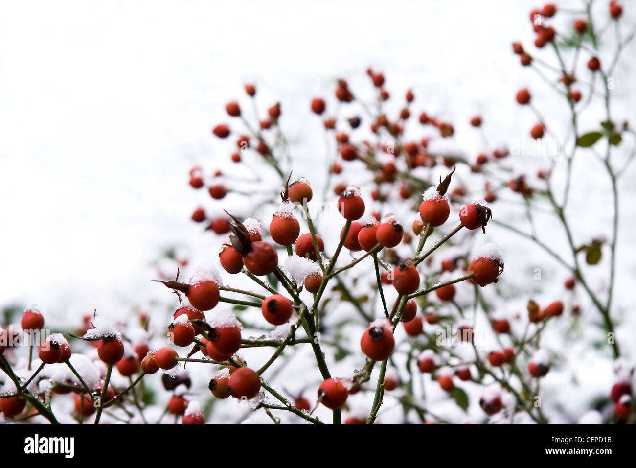 red berries cold stockfotos red berries cold bilder alamy. Black Bedroom Furniture Sets. Home Design Ideas