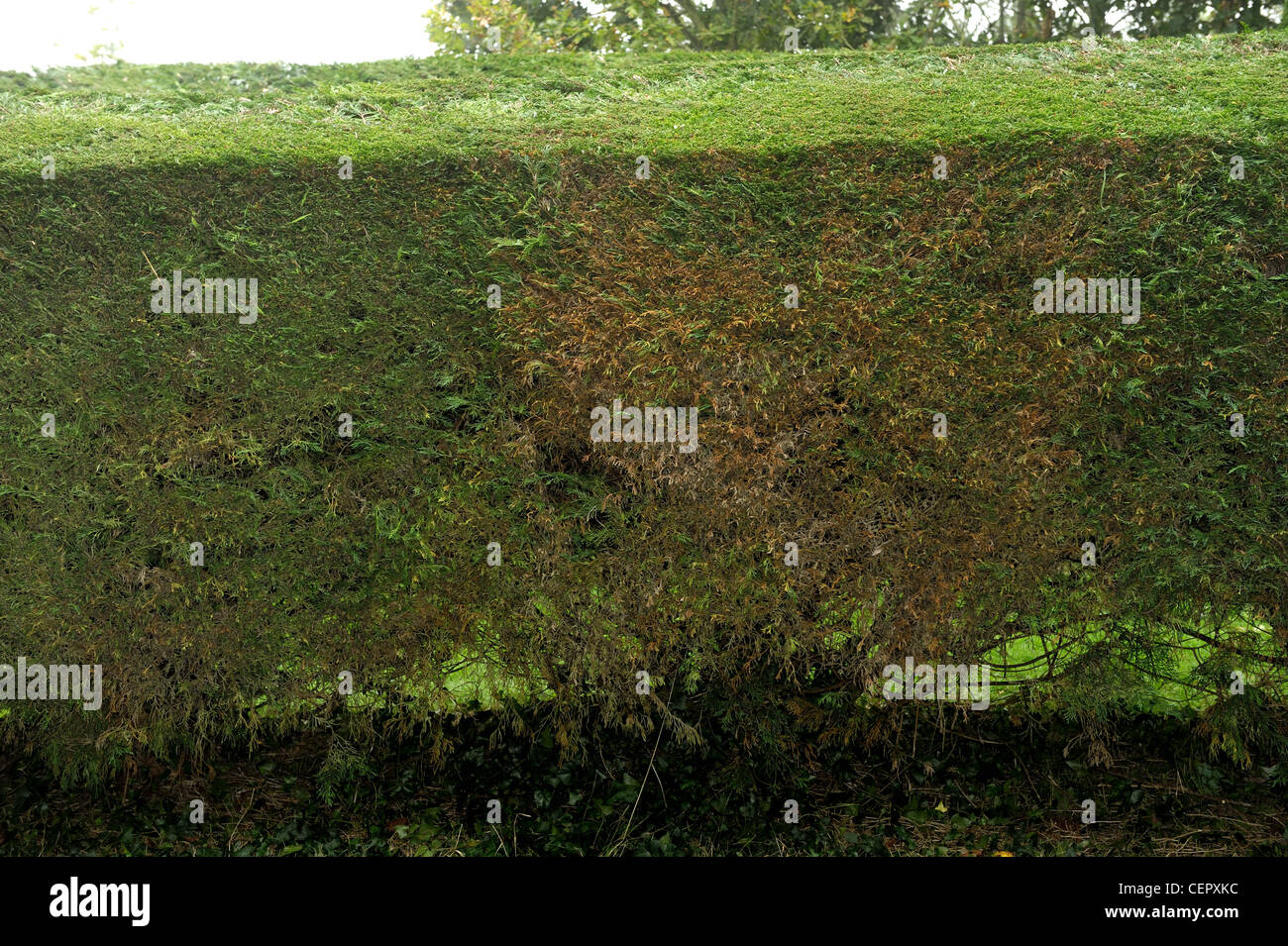 leyland-zypressen-hecke (cupressocyparis leylandii) vor kurzem