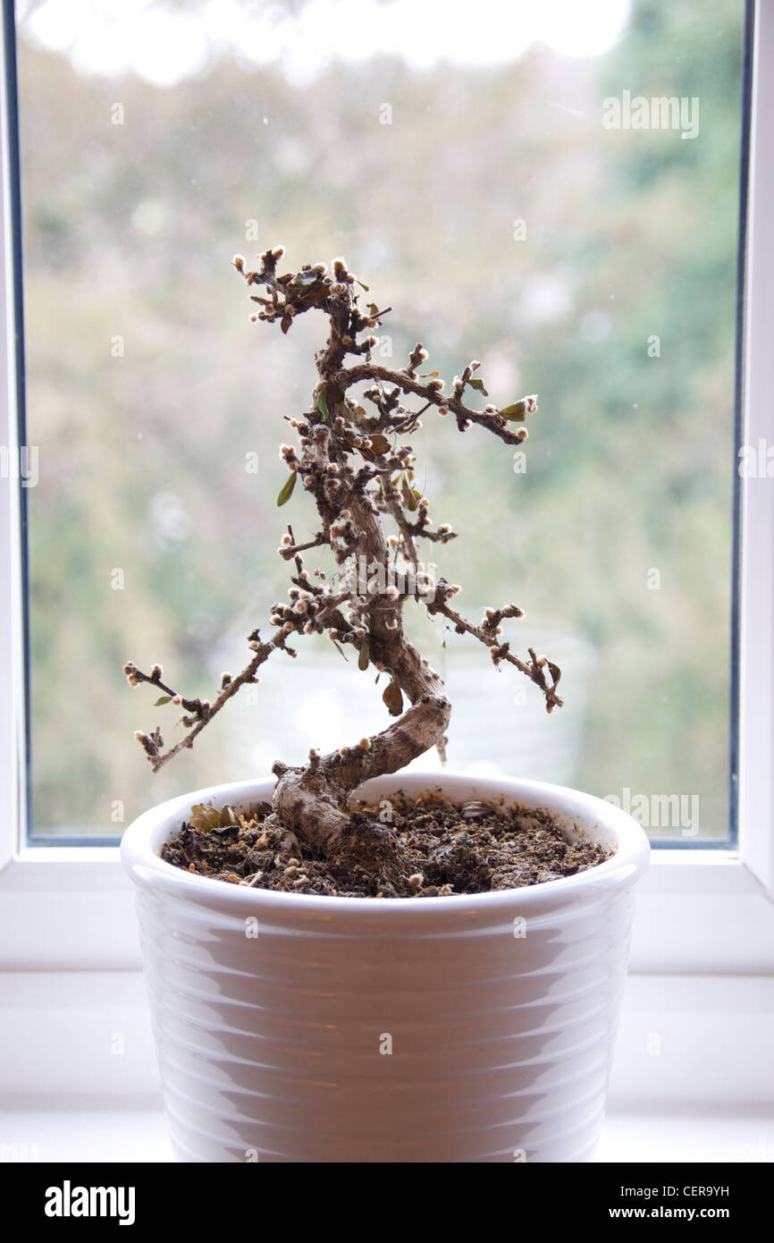 Dead tired stockfotos dead tired bilder alamy - Bonsai zimmerpflanze ...