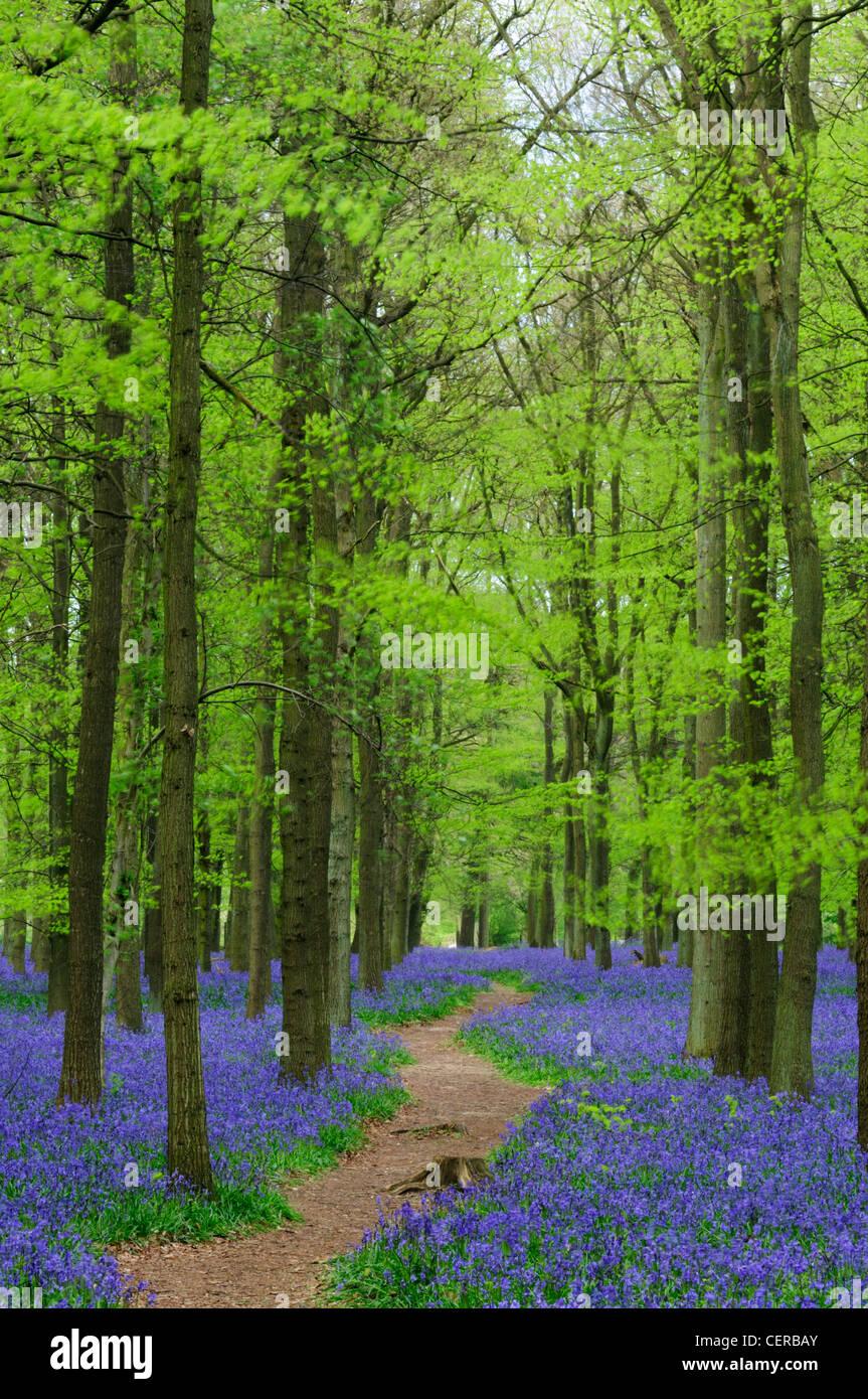 Ein Pfad führt durch Dockey Wood Teppichboden mit Glockenblumen, auf dem Anwesen Ashridge. Stockbild