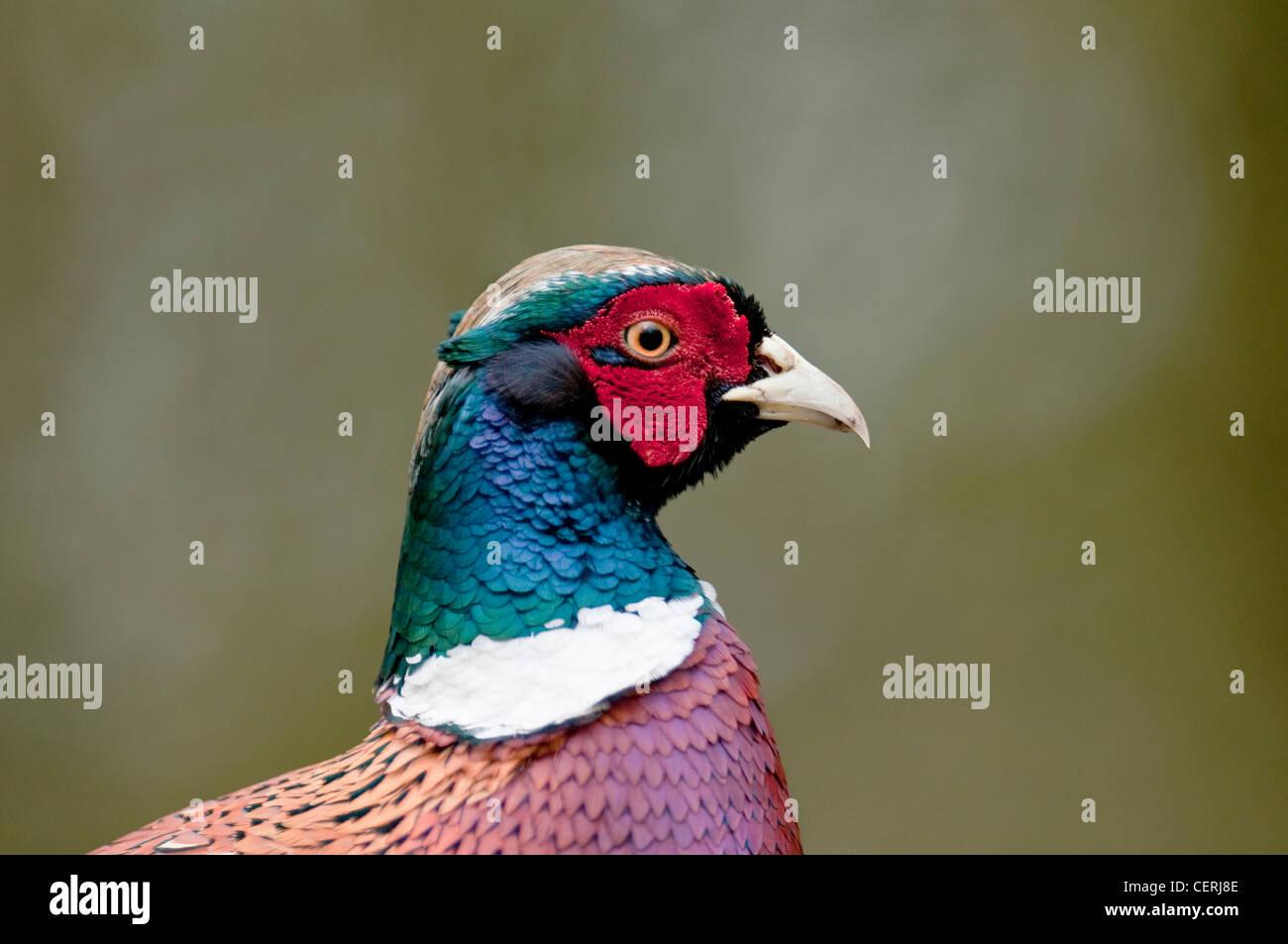 """Fasan """"Phasianus Colchicus"""" Boden bunte Spiel Vogel lange Tailed große """"Woodland Bird"""" Stockbild"""