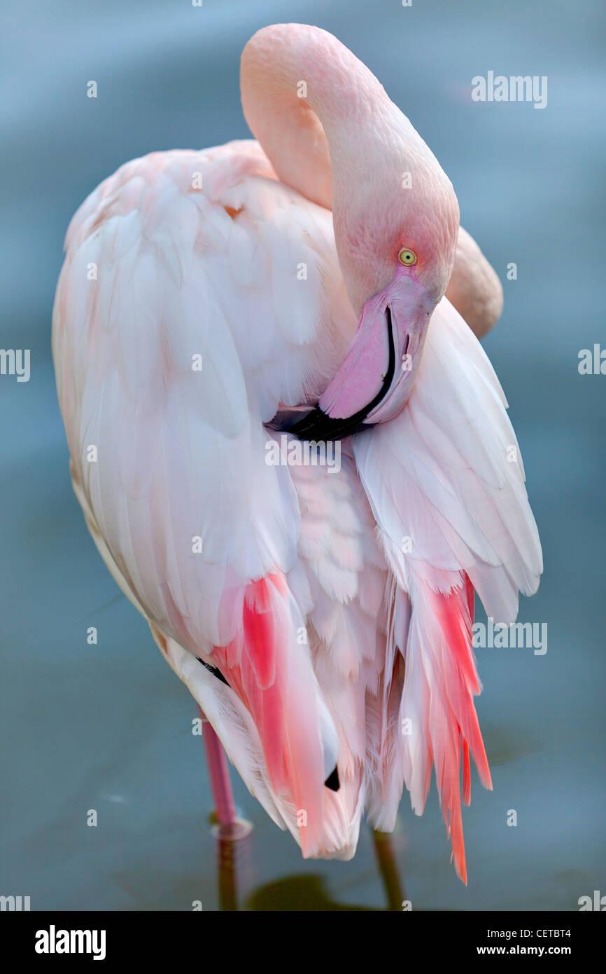Flamingo Vogel Stockbild