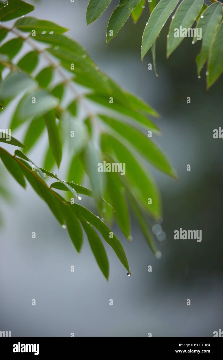 Regen tropft von Blättern in Aguas Calientes, Peru Stockbild