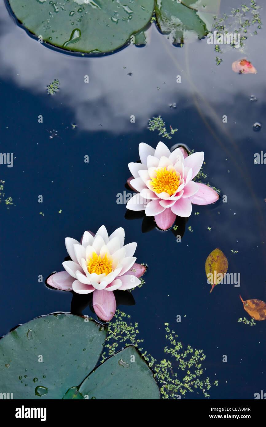 zwei rosa Seerosen in einem Teich Stockfoto