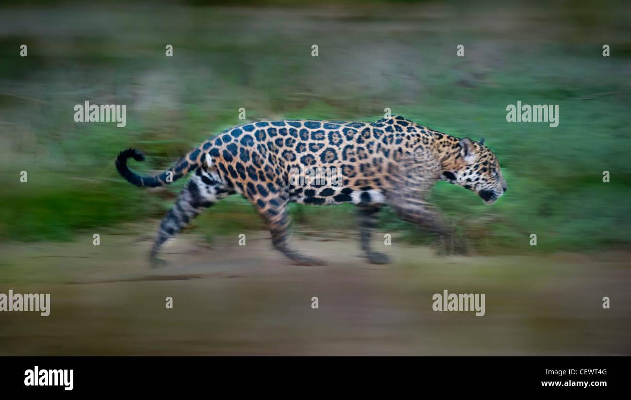 """Wilde weibliche Jaguar zu Fuß entlang der Ufer des Flusses Piquiri (ein Nebenfluss des Cuiaba River) Stockbild"