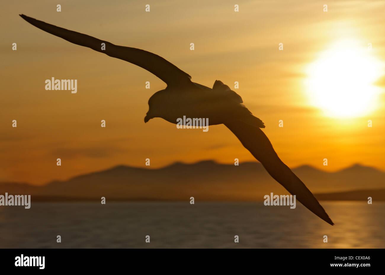 Fulmar während des Fluges im Morgenlicht am Hornsund, Spitzbergen, Norwegen Stockbild