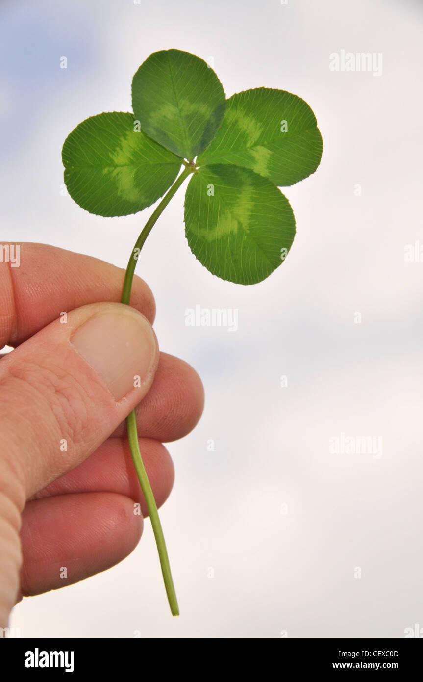 Eine Person hält ein Glück vier Endivie / Klee-Blatt. Stockbild