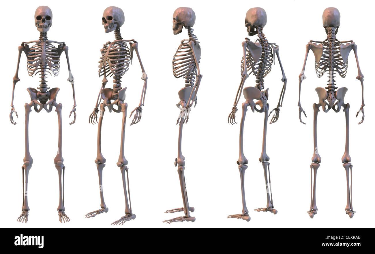 Skelett-Struktur des menschlichen Körpers Stockfoto, Bild: 43614995 ...