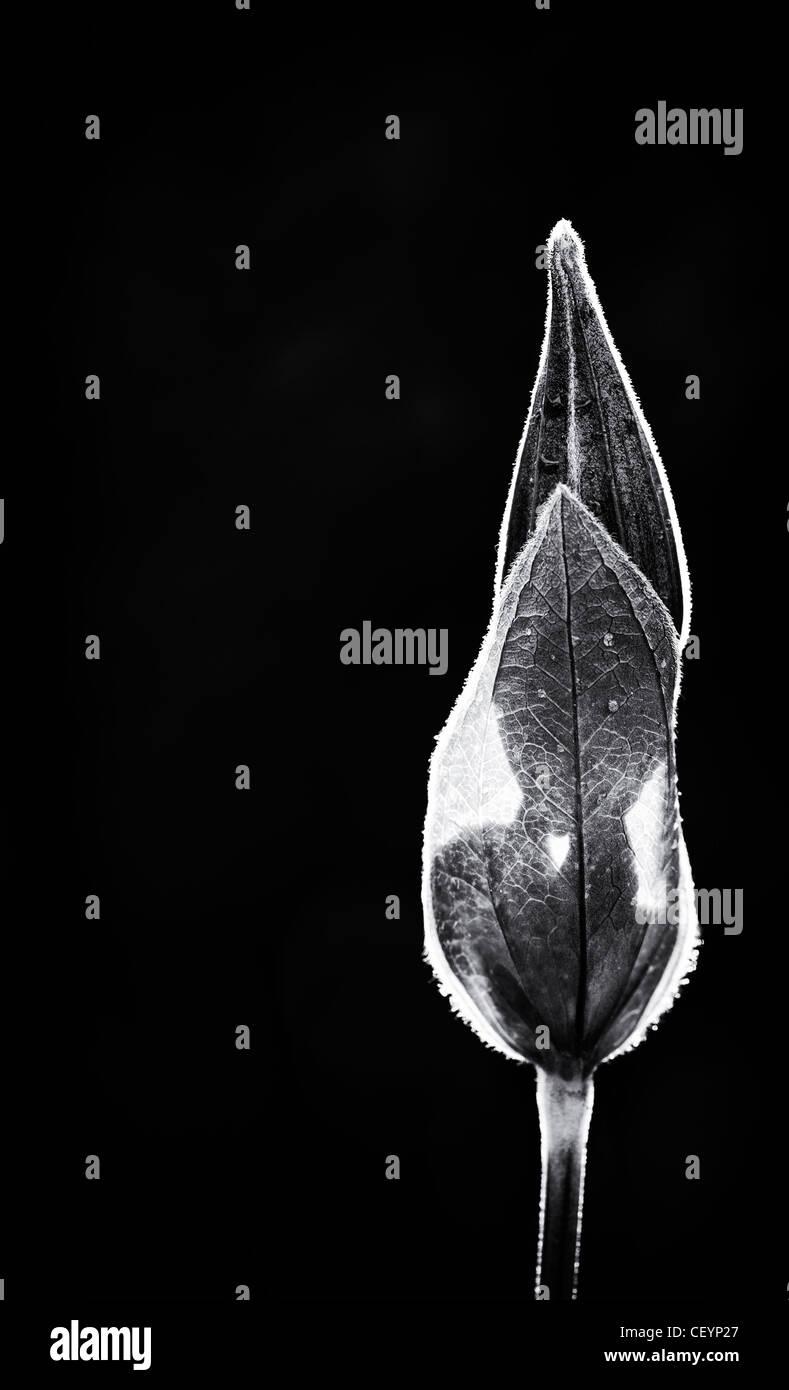 Clematis Integrifolia Blume in der Sonne vor einem dunklen Hintergrund entstehen. Monochrom Stockbild