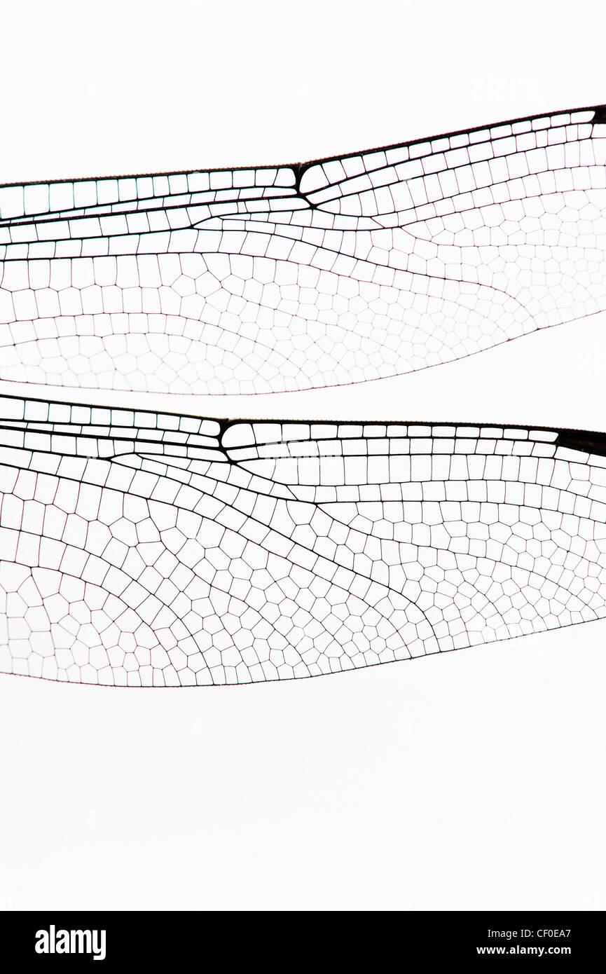 Ictinogomphus Rapax. Indische Clubtail Libellenflügel auf weißem Hintergrund Stockbild