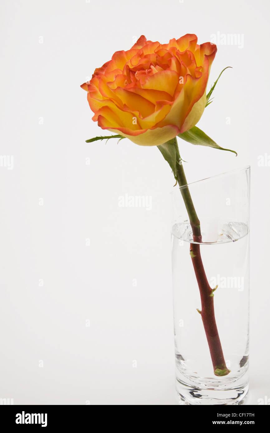 eine einzelne rose blume in einer glasvase auf einem wei en hintergrund stockfoto bild. Black Bedroom Furniture Sets. Home Design Ideas
