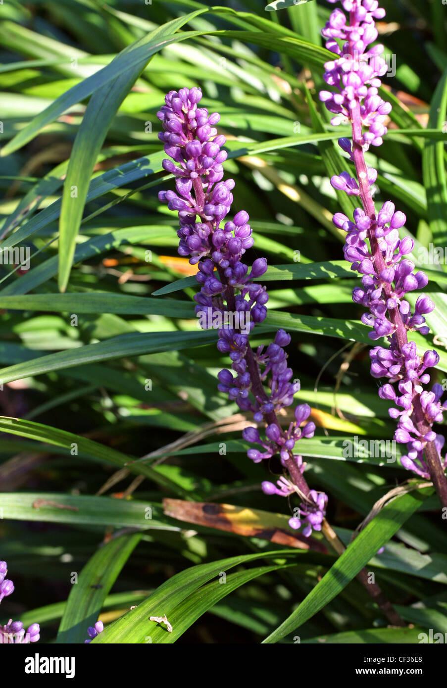 Liriope oder Lilyturf, Liriope Platyphylla, Nolinoideae, Asparagaceae. Zuvor in Convallariaceae und Ruscaceae. Stockbild