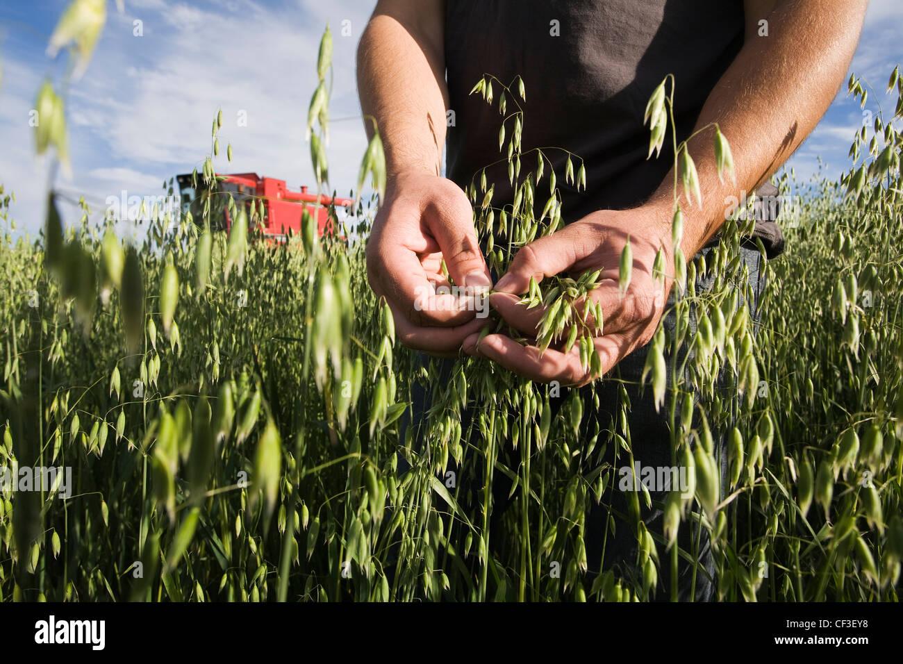 Farmer es Hände Inspektion Hafer ernten mit Rot kombinieren im Hintergrund. Stockfoto