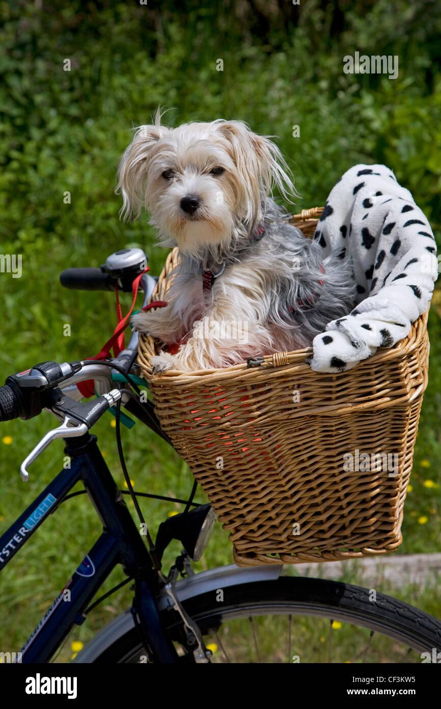 Yorkshire Terrier / Yorkie (Canis Lupus Familiaris) gehen für eine Fahrt im Korb auf dem Fahrrad Stockbild