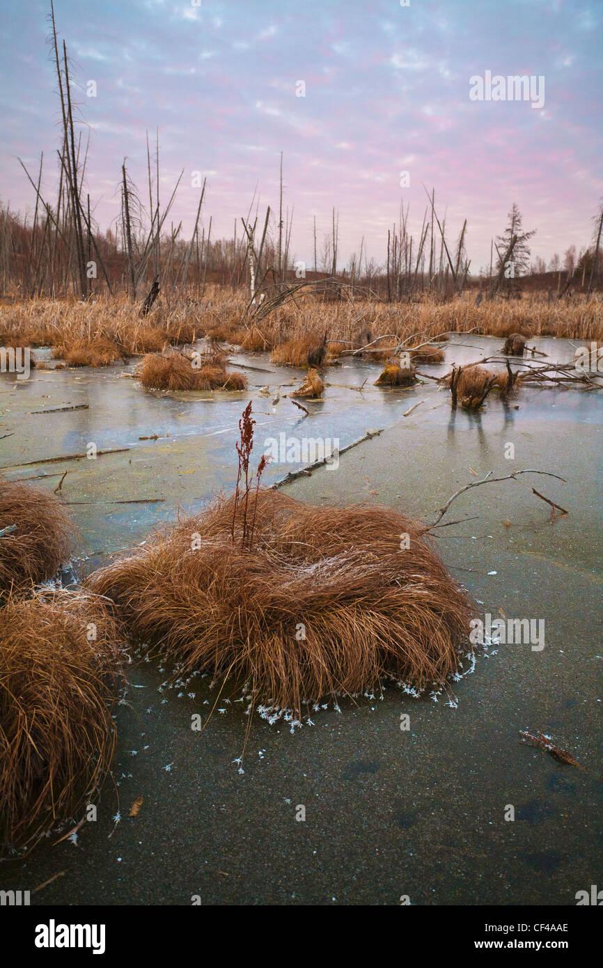 Frostigen Grass In einem gefrorenen Sumpf bei Sonnenuntergang; Edmonton Alberta Kanada Stockfoto