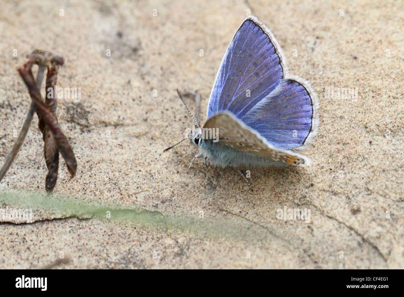 Commen blaue Schmetterling Nahaufnahme Detailansicht Polyommatus icarus Stockbild